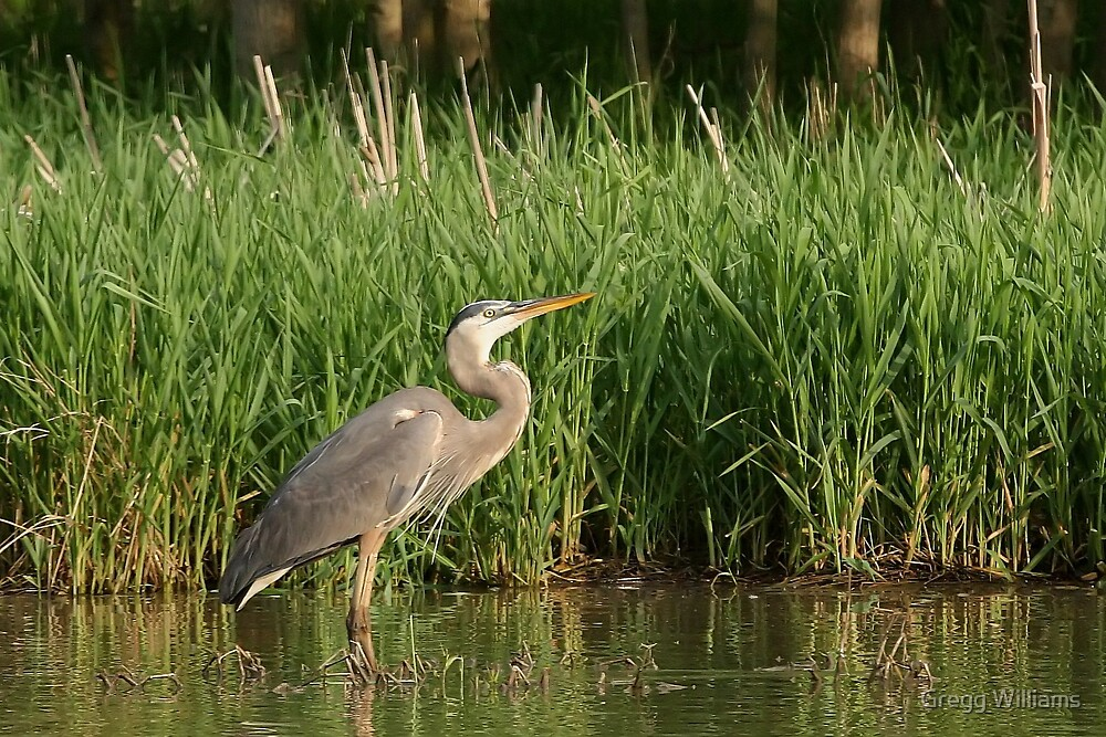 Great Blue Heron by Gregg Williams