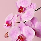 Pink orchid by Anna Khomulo