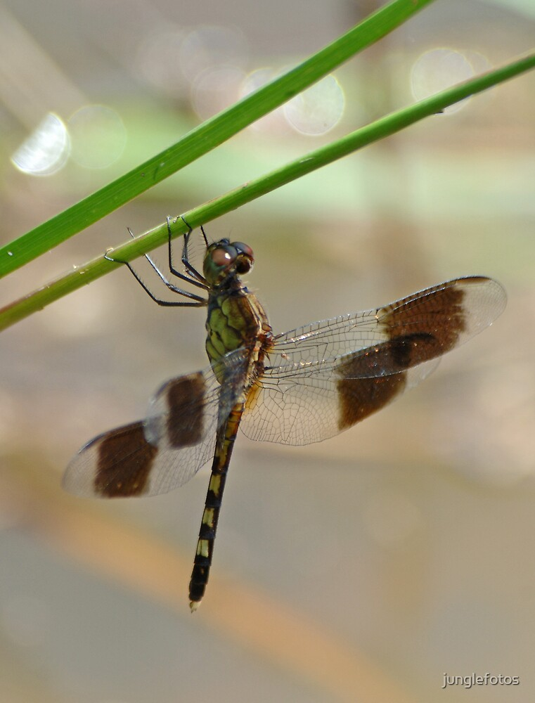 Dragonfly  by junglefotos