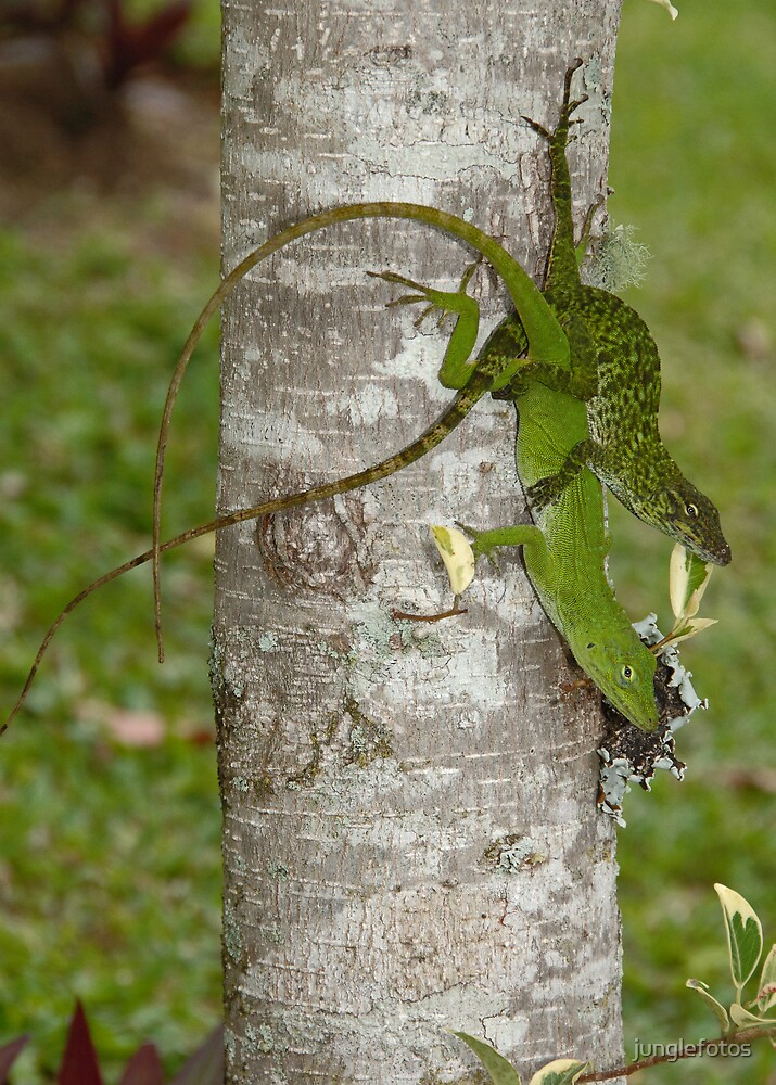 Lizards mating by junglefotos