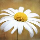 Golden Eyed Daisy by wallarooimages
