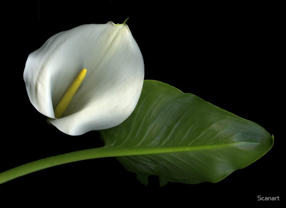 Calla Lily by Scanart