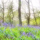 Bluebell Wood by spottydog06