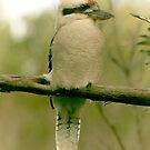 kookaburra by Amagoia  Akarregi
