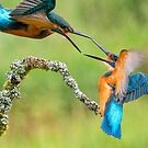 ~ Kingfishers ~ by M S Photography/Art