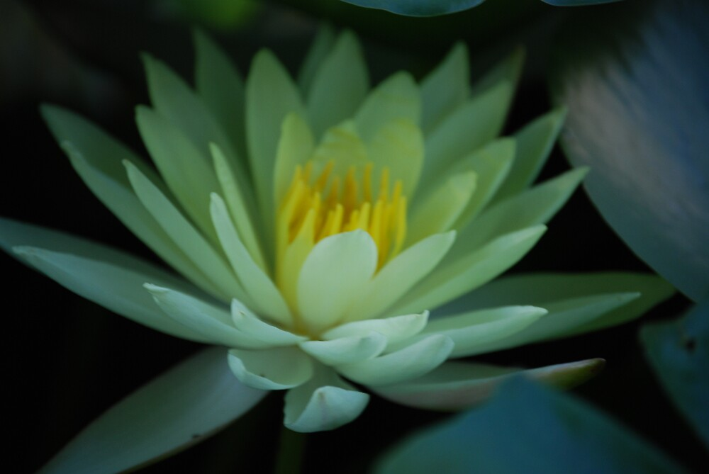 Water lilly by Alan Wibbels