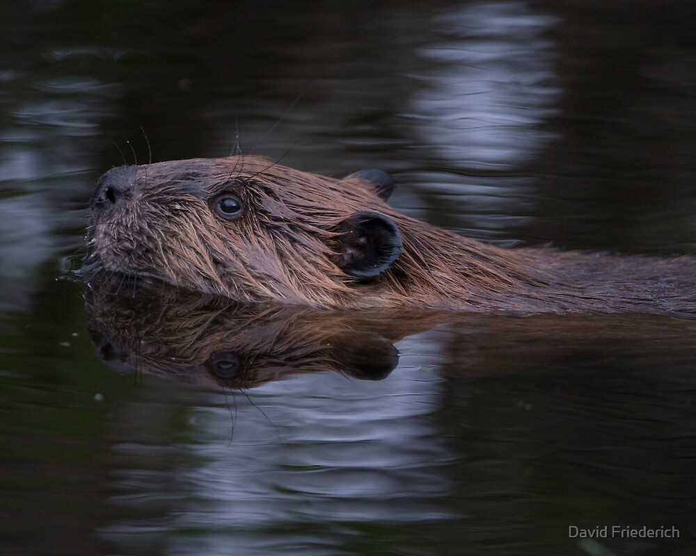 Beaver in Moonlight by David Friederich