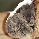 the baby Koala by Bente Agerup