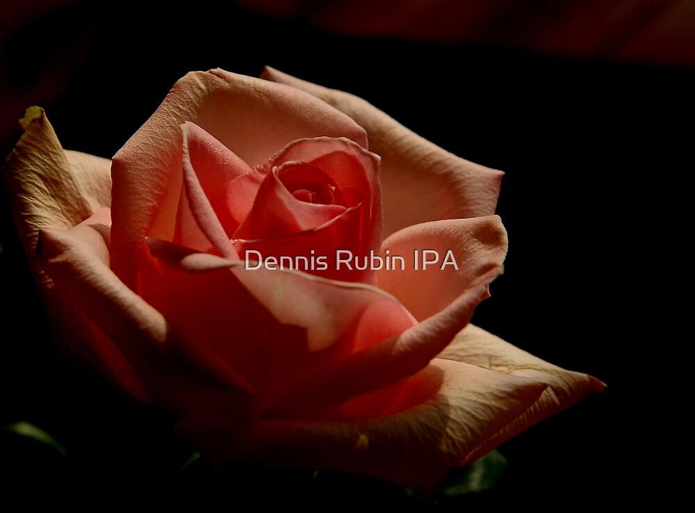 Anniversay Rose by Dennis Rubin IPA