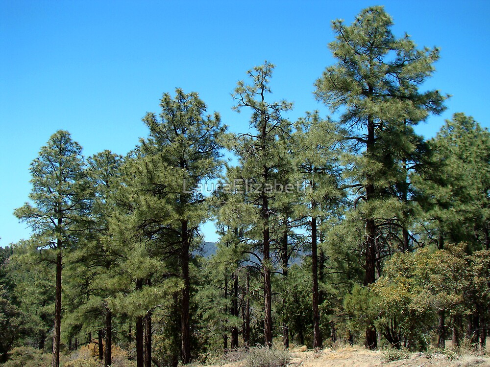 Pondarosa Pines by LauraElizabeth