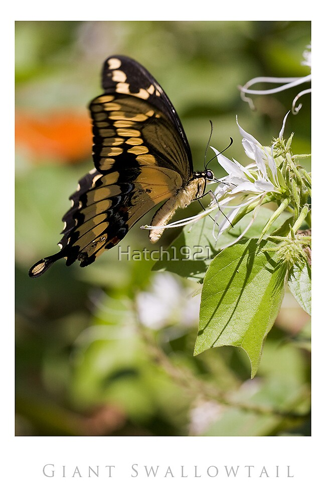 Giant Swallowtail by Hatch1921