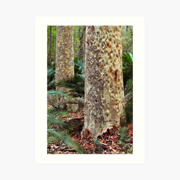 Spotted Gum - Mimosa Rocks National Park Art Print