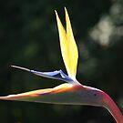 Bird Of Paradise by Kylie  Metz