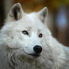 arctic wolf by AlRobinson