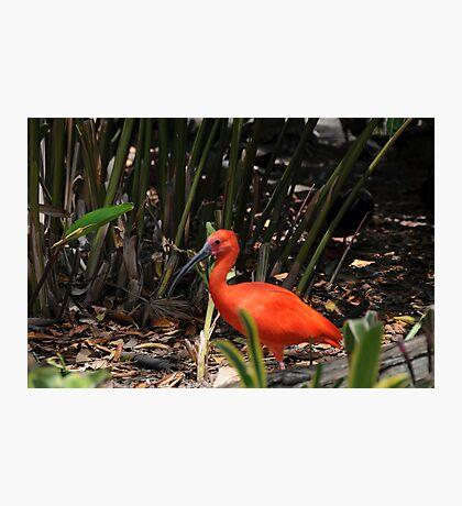 Scarlet Ibis 2 Photographic Print