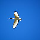 Sacred Ibis by Andrea Vallejos (nee Lindenberg)