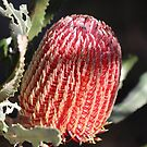 Banksia in Red by kalaryder