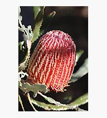 Banksia in Red Photographic Print