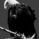 Bald Eagle by David Friederich