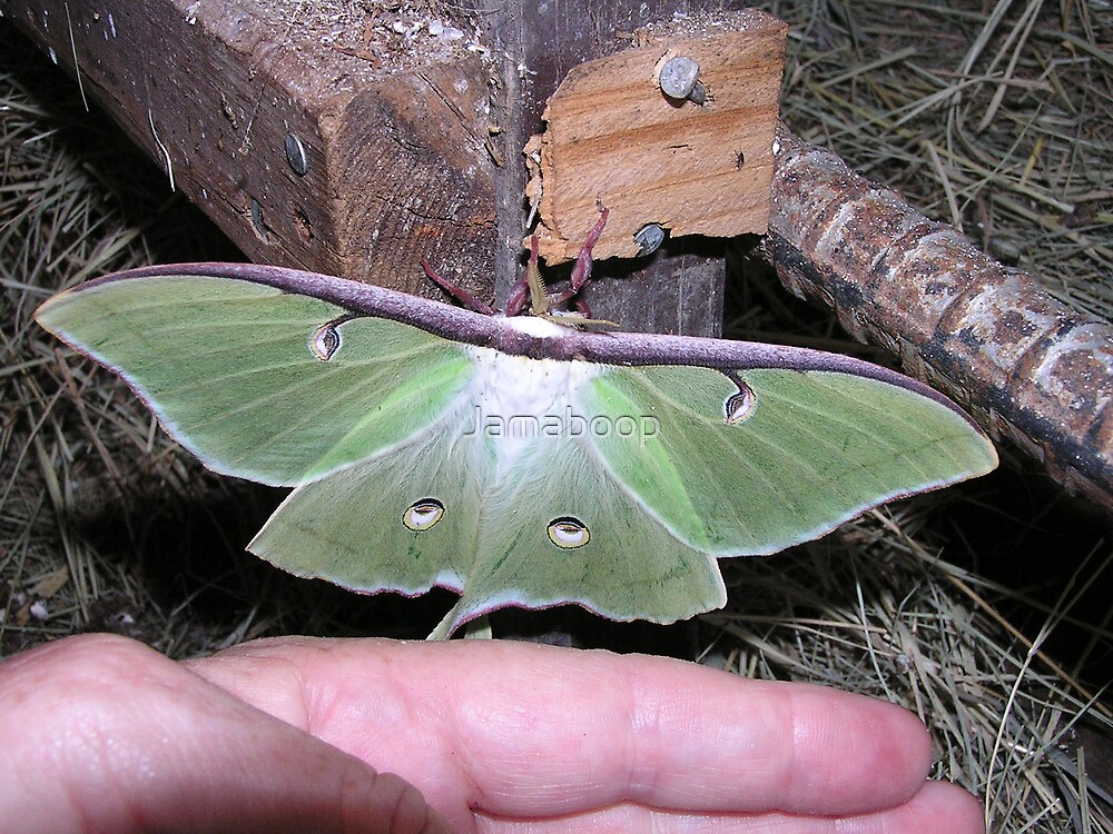 Whoa! Big Luna Moth! by Jamaboop