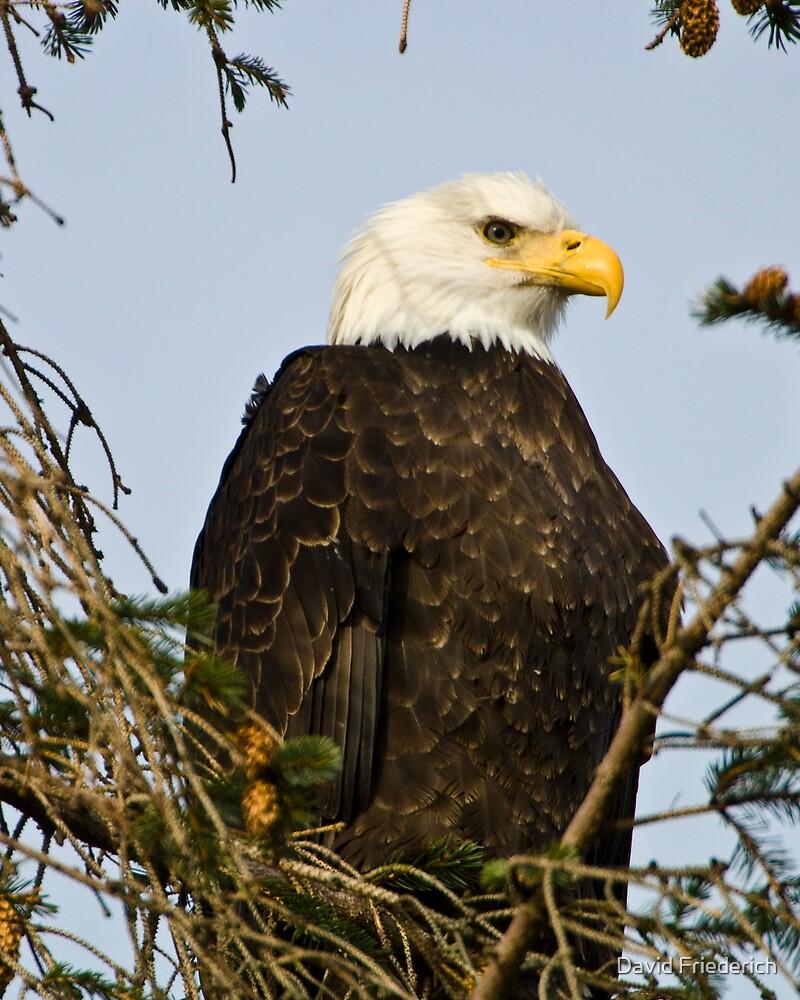 Bald Eagle In Fir Tree by David Friederich