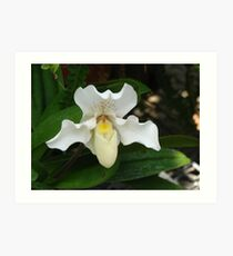 White Ladys Slipper Orchid Art Print