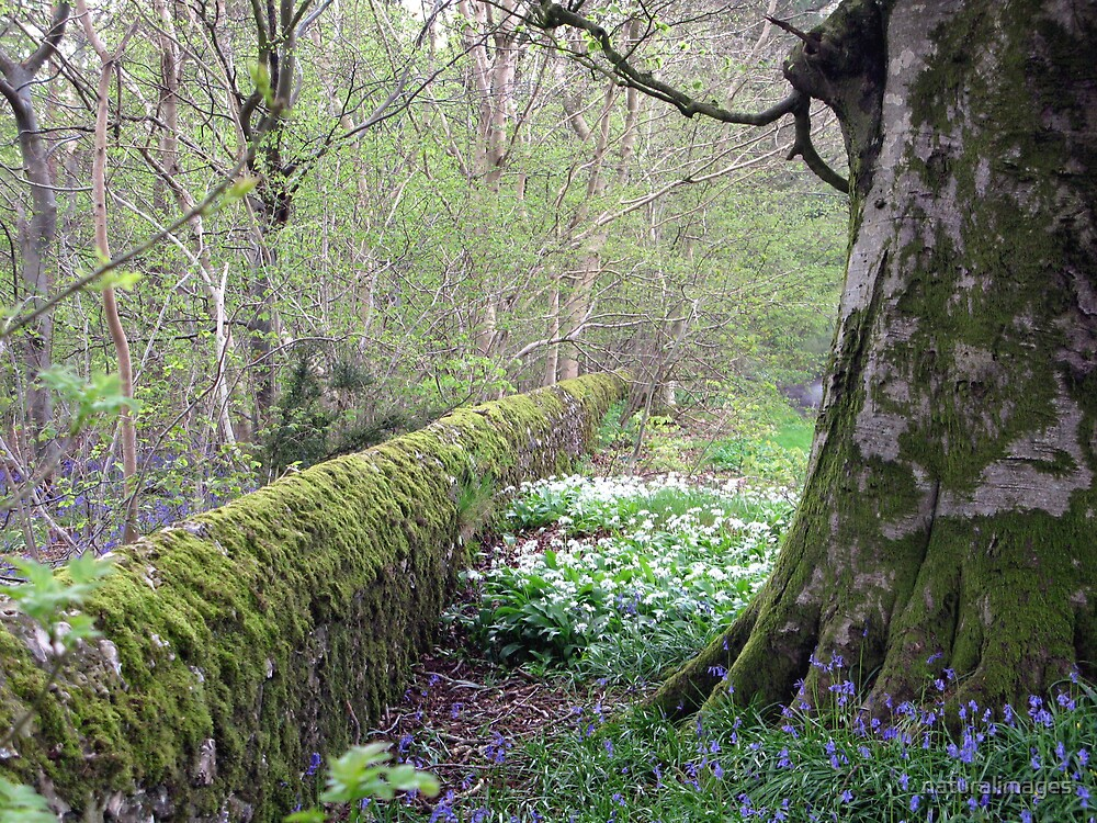 ramsons (wild Garlic) and bluebells near Bulbarrow Hill Dorset by naturalimages