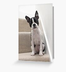 Meryl the Boston Terrier Greeting Card
