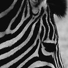 Zebra by jgregor