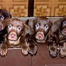 Litter of Chocolate Labrador's  by tawaslake