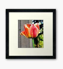 Multi-Colored Tulip Framed Print