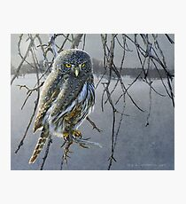 open country hunter: northern pigmy owl  Photographic Print