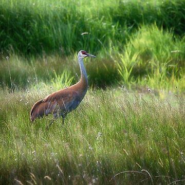 Sand Hill crane - Norris, Montana by kdxweaver