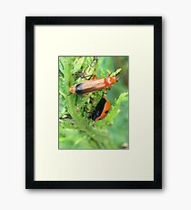Soldier beetle Vs Ladybird Who Won? Framed Print