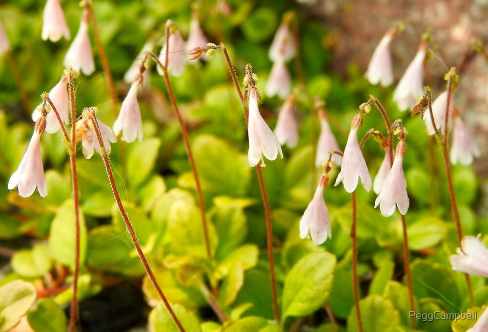 Linnea - Twinflower by PeggCampbell