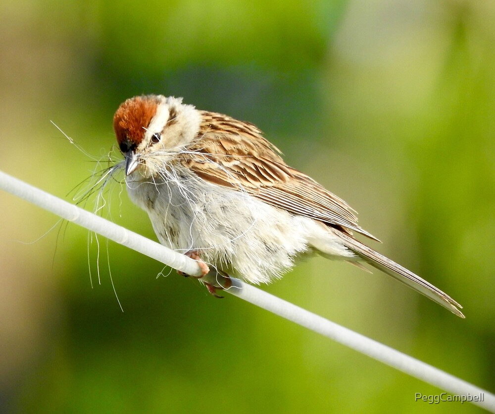 Chipping Sparrow Gathering Nesting by PeggCampbell