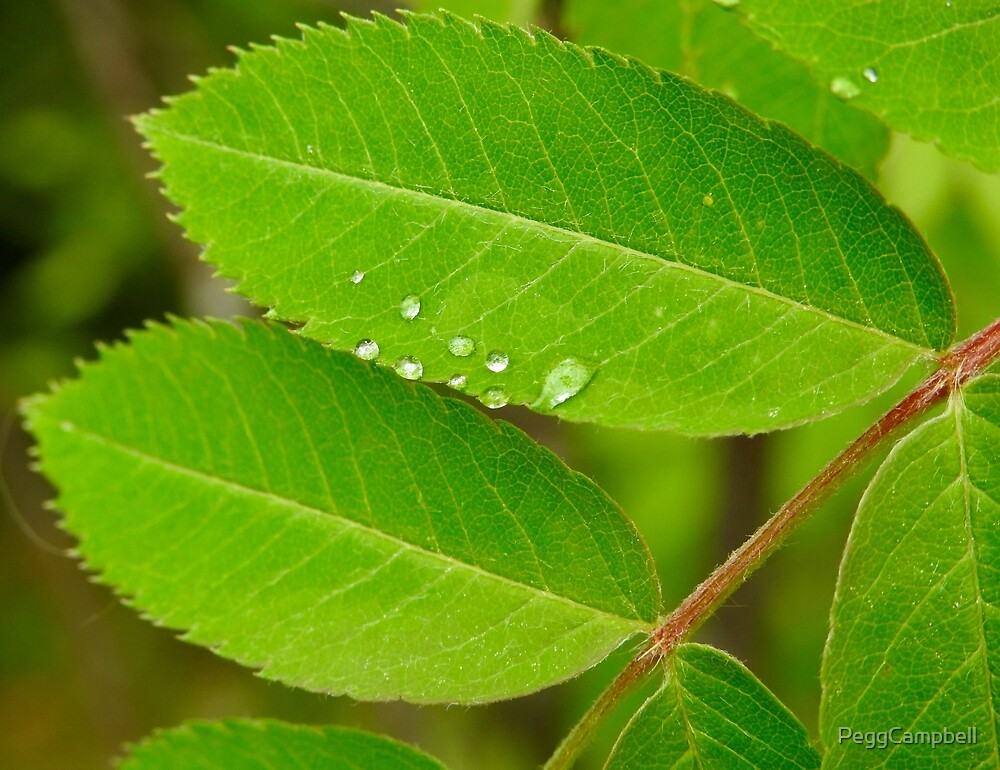 Dew on Mountain Ash by PeggCampbell