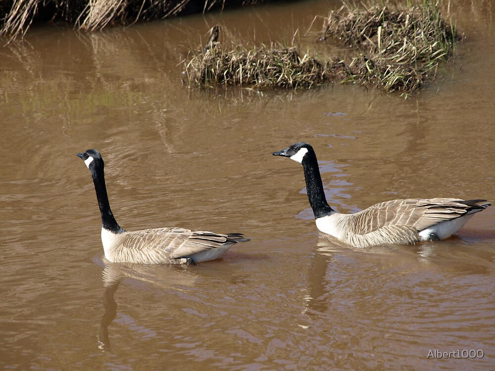 NC Canada geese by Albert1000