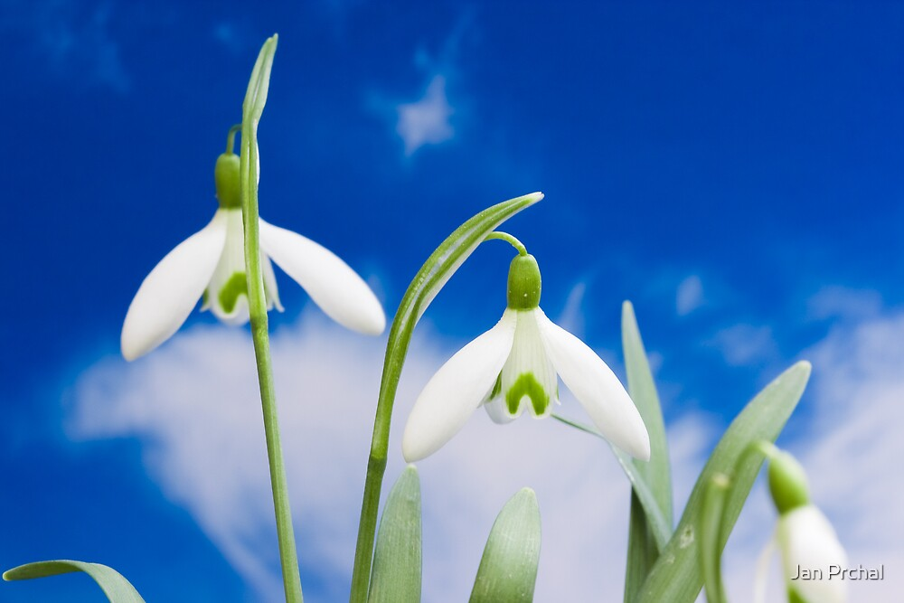snowdrop flower blooms  by Jan Prchal