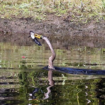 ANHINGA WITH CATFISH by TomBaumker
