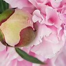Peonies All In Pink by Ann Garrett