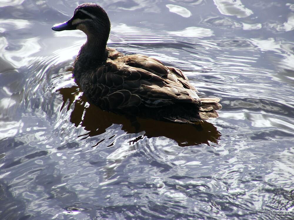 wild duck by harveyincairns