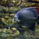 French Angelfish by Cynthia48