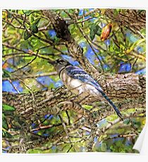 Spring Blue Jay  Poster