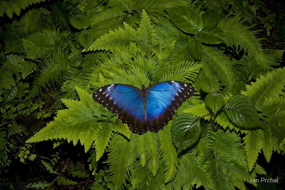 blue Morpho Butterfly  by Jan Prchal