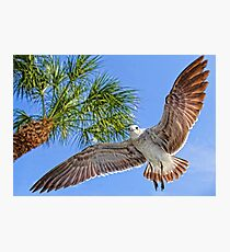 A Seagull Flyby    Photographic Print