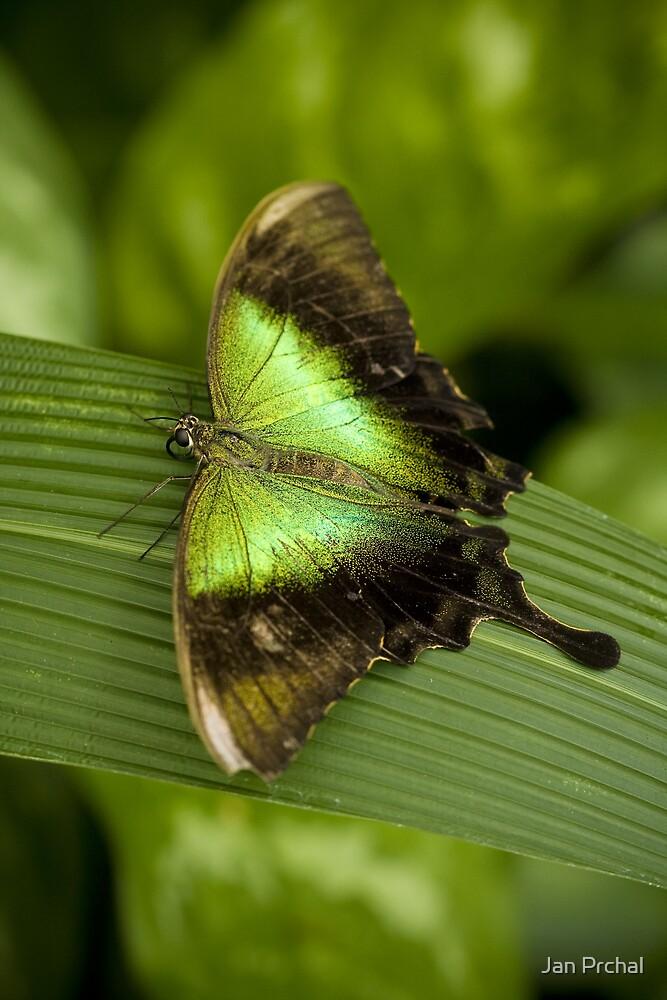 Papilio peranthus by Jan Prchal