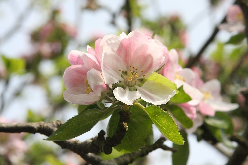 Apple Blossom by Judy Dean