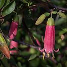 Red Correa Tubule Leith Park Victoria 20170510 0387 by Fred Mitchell