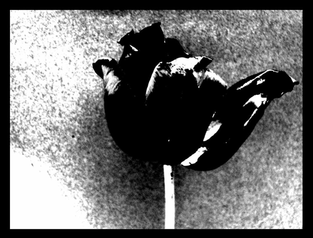 Tulip in Black by DNVR
